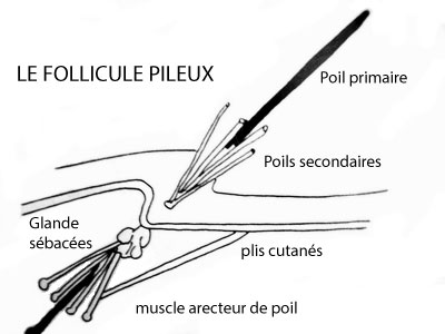 Description du follicule pileux du chien
