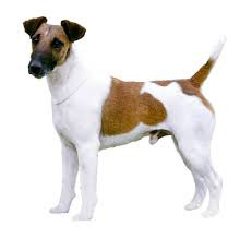 Fox Terrier Poil Court